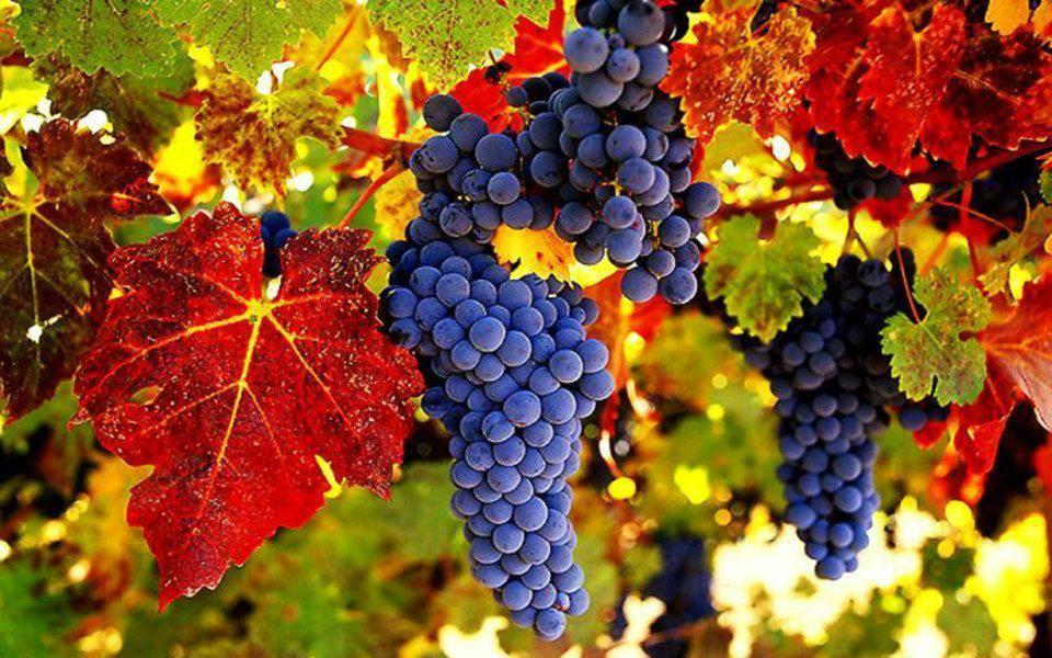 Расклад Таро Виноградная гроздь