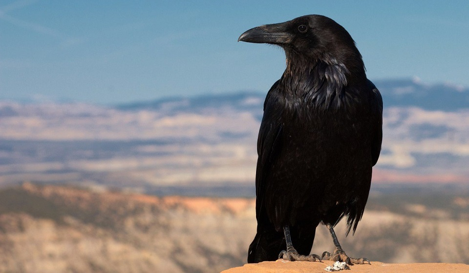 """Расклад """"Черный ворон"""""""